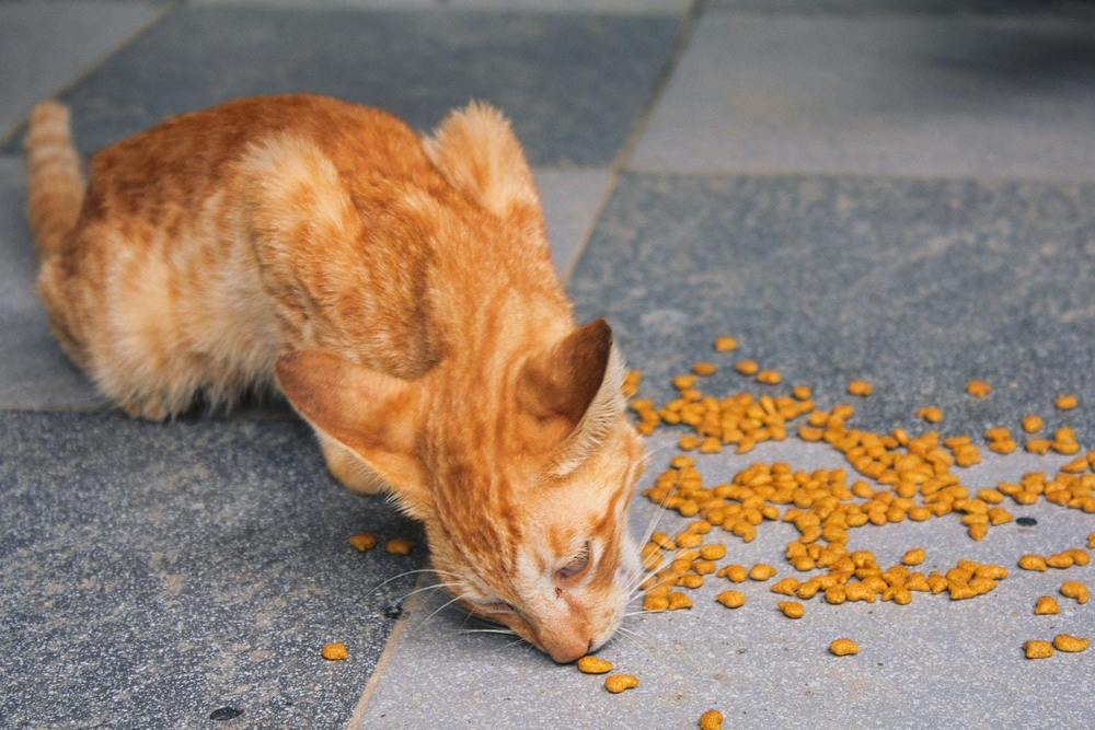 un chat en train de manger des croquettes