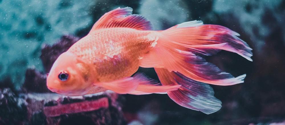 Un poisson rouge pour enfant