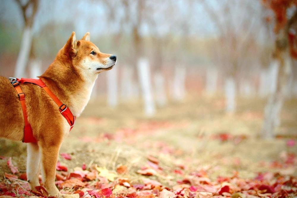 une chien Inu lors d'une promenade