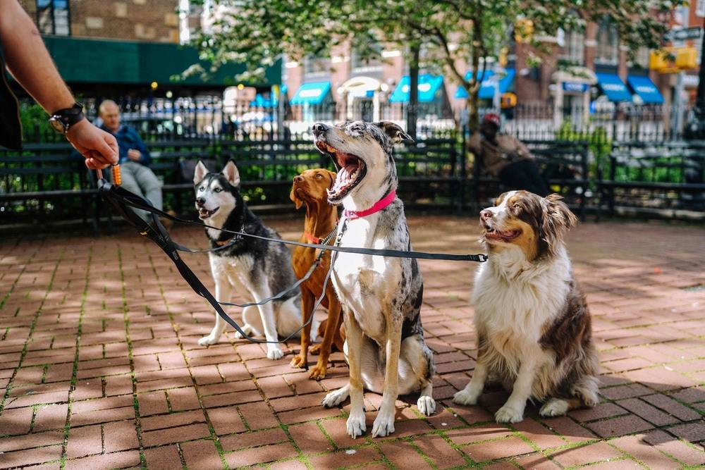 un dog-sitter et ses chiens