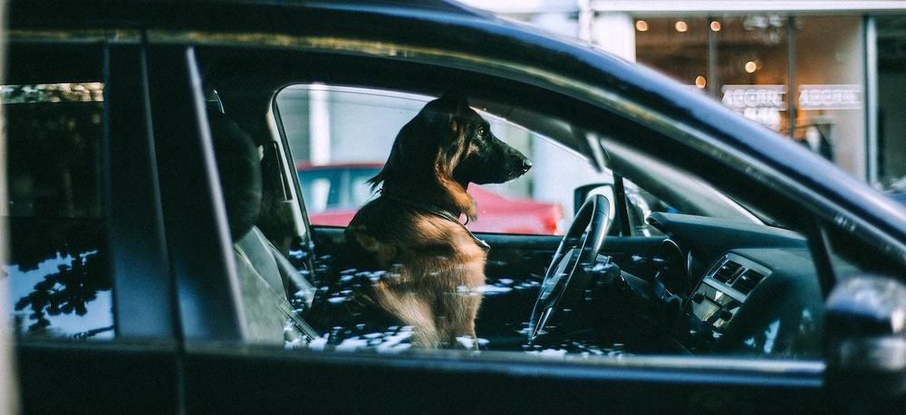 un chien voyage en voiture